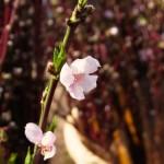 これから開花する桃の木